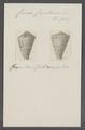 Conus capitaneus - - Print - Iconographia Zoologica - Special Collections University of Amsterdam - UBAINV0274 086 08 0018.tif