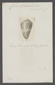 Conus gladiator - - Print - Iconographia Zoologica - Special Collections University of Amsterdam - UBAINV0274 086 06 0029.tif
