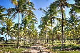 Coqueiral praia de Pratigi - BA.jpg