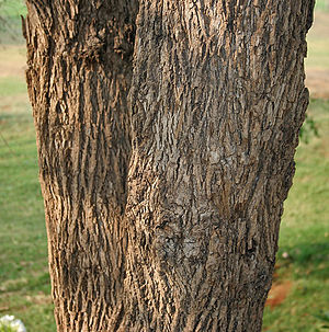 Cordia dichotoma - Image: Cordia dichotoma (Lasora) in Hyderabad W IMG 7090
