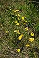 Coreopsis lanceolata UMFS 2.JPG