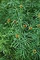 Coreopsis verticillata kz2.jpg