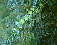 Coriaria ruscifolia.jpg