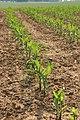 Corn Zea mays Plant Row 2000px.jpg