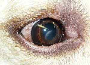 English: Corneal dystrophy in a Labrador Retri...