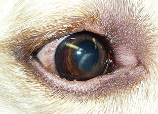 Corneal dystrophies in dogs