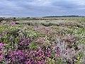 Cornish heath at Bray's Cott near Goonhilly Downs.jpg