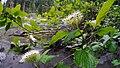 Cornus sericea ssp. occidentalis in flower.jpg
