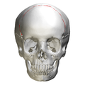 Coronal suture - skull - anterior view02.png