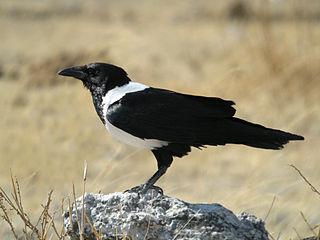 Pied crow species of bird
