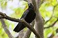 Corvus brachyrhynchos UL 06.jpg