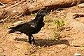 Corvus culminatus Kerala.jpg