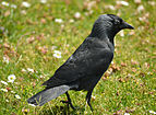 Corvus monedula on grass.jpg