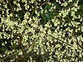 Corylopsis pauciflora - Flickr - peganum.jpg