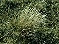 Corynephorus canescens 2019-04-05 9248.jpg