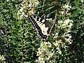 Costa da Morte - mariposa cerca de la Playa de Soesto (A Coruña, Galicia, España).JPG