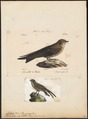 Cotile rupestris - 1700-1880 - Print - Iconographia Zoologica - Special Collections University of Amsterdam - UBA01 IZ16700183.tif