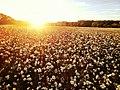 Cotton field - panoramio.jpg