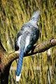 Coua cristata (Hauben-Seidenkuckuck - Crested Coua) - Weltvogelpark Walsrode 2013-01—130718 0194.jpg