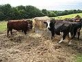 Cows near Hollow Wall Farm - geograph.org.uk - 893729.jpg
