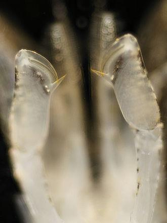 Crangon crangon - The chelae of C. crangon from below