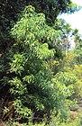 Crataeva magna tree.jpg