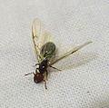 Crematogaster scutellaris Queen Ant2.jpg