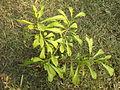 Crescentia Cujete ( Calabash Tree).jpg