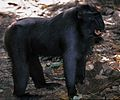 Crested Macaque Macaca nigra (7911466406).jpg