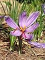 Crocus sativus Y03.jpg