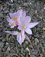 Crocus tournefortii Flowers.jpg