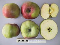 Cross section of Geneva Ontario (NY), National Fruit Collection (acc. 1966-002).jpg