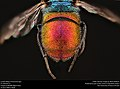 Cuckoo Wasp (Chrysurissa spp.) (36829160444).jpg