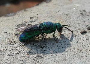 Cuckoo wasp - Image: Cuckoo Wasp 0640