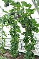 Cucumis melo 'Noir des Carmes' - Longwood Gardens - DSC01164.JPG