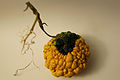 Cucurbita ornamental - Autumn Squash VII.jpg