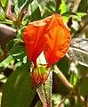 Cuphea nudicostata 3.jpg
