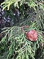 Cupressocyparis x leylandii. Ciprés híbrido de Leyland.jpg