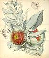 Curtis's Botanical Magazine, Plate 4333 (Volume 73, 1847).jpg
