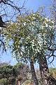 Cussonia paniculata MS2011ZA078.jpg