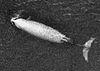 Cuviers balena dal becco-swfsc.jpg