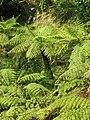 Cyathea spinulosa.jpg