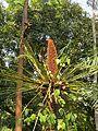 Cycas circinalis at Mayyil (2).jpg