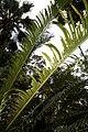 Cycas revoluta 41zz.jpg