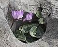 Cyclamen pseudibericum - False Iberian cyclamen 06.jpg