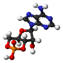 Cyclic-adenosine-monophosphate-3D-balls.png