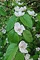 Cydonia oblonga fleurs 2.jpg