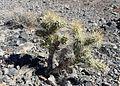 Cylindropuntia echinocarpa kz2.jpg