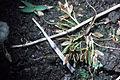 Cyperus bipartitus NRCS-1.jpg