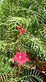 Cypress Vine (Ipomoea quamoclit) 3.jpg